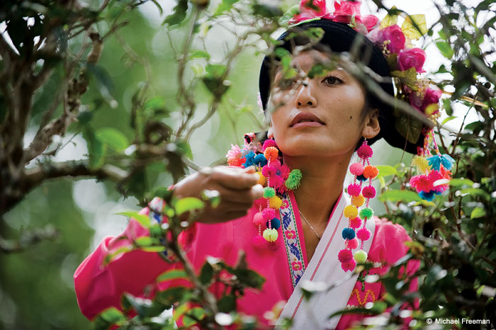 A Bulang woman from Mang Jing village wearing ceremonial clothes as she picks tea in a forest tea garden, Jingmai Mountain, western Xishuangbanna, Yunnan, China.